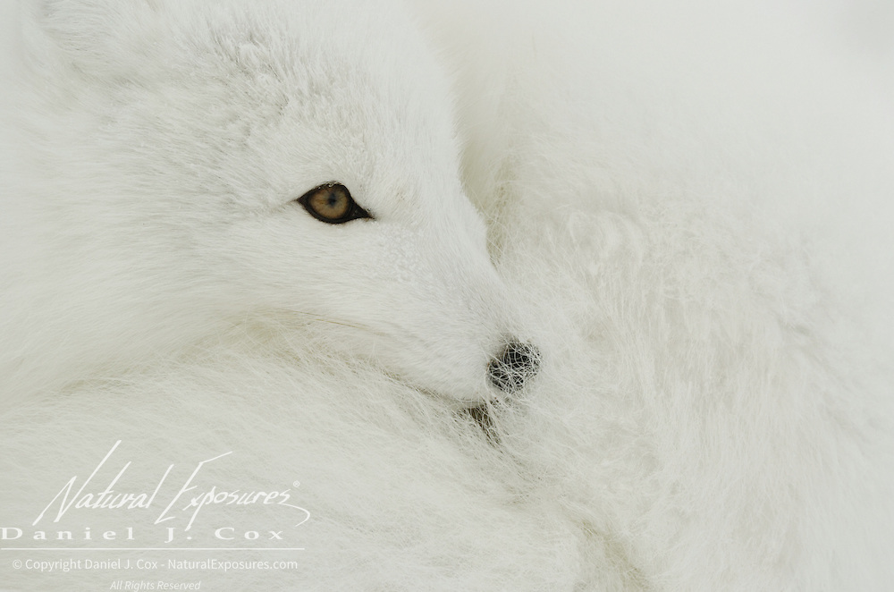 Arctic Fox (Alopex lagopus) along the ice edge of Hudson Bay, Cape Churchill, near Churchill, Manitoba, Canada.