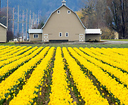 Rows of daffodils, in full bloom at the corner of McLean Road and Best Road near La Conner Washington. (Mike Siegel / The Seattle Times)