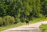 A moose feeds along the road in Riding Mountain National Park, Manitoba