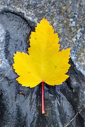 Yellow Maple leaf on sedimentary rocks of Glacier National Park Montana USA