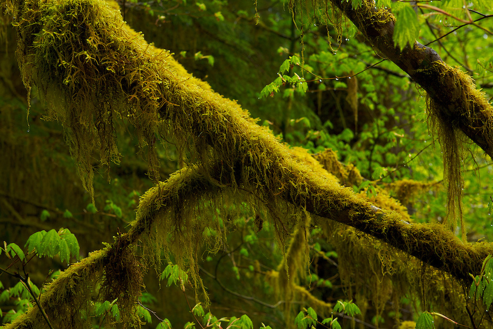 Tree branches covered in Cat-Tail Moss in the Hoh Rain Forest. Olympic National Park, WA.