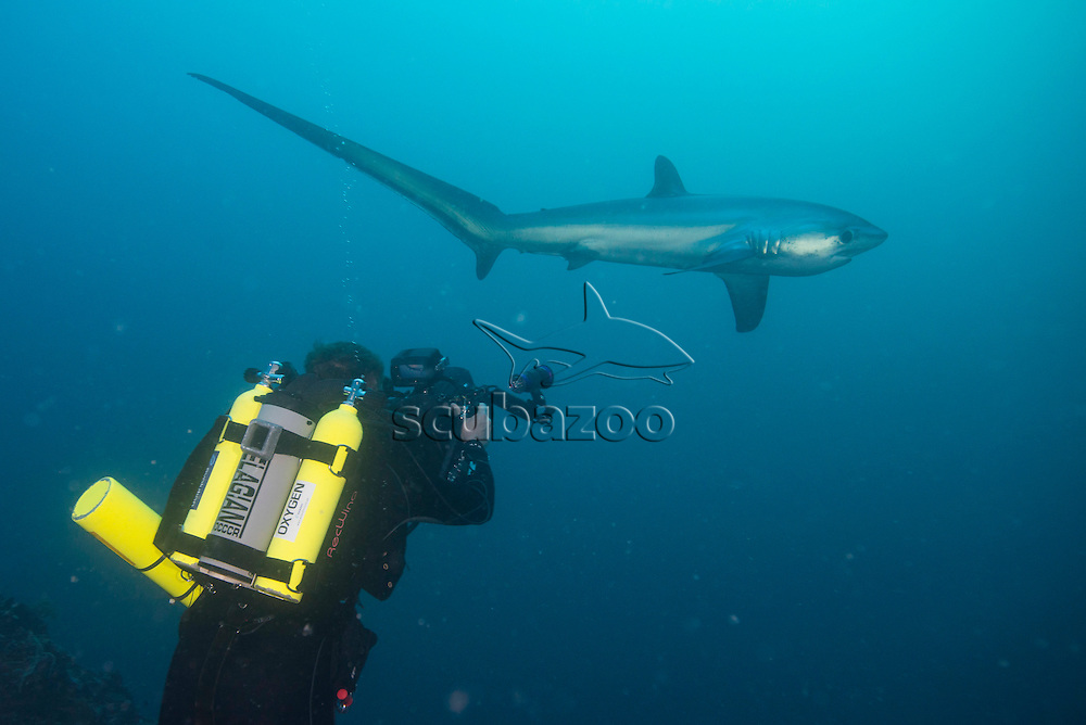 A rebreather diver cameraman filming a Pelagic Thresher Shark, Alopias pelagicus, swimming in the blue in the background, Malapascua Island, Cebu, Philippines.