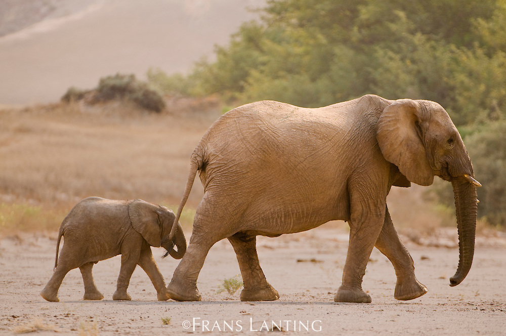Desert elephant mother and calf, Loxodonta africana, Huab River, Torra Conservancy, Damaraland, Namibia