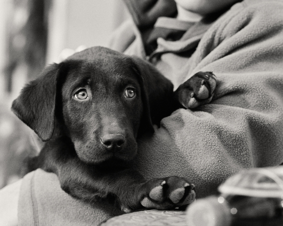 Black Lab Puppy safe and secure in his big brothers arms.