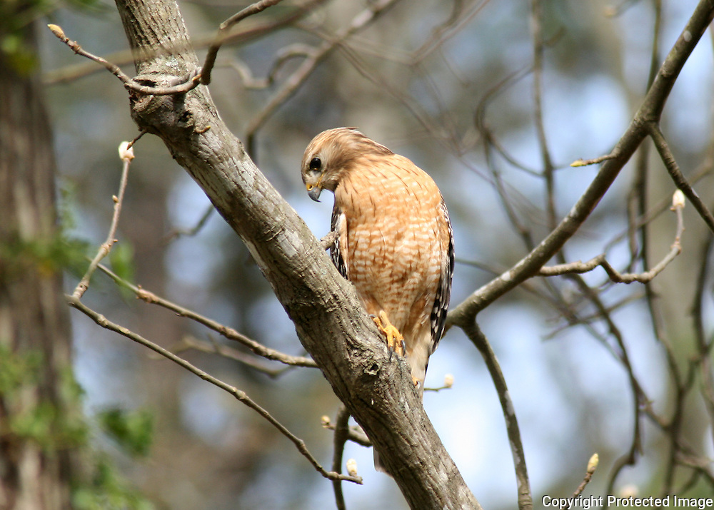 A Red Shouldered Hawk searching the ground for squirrels or chipmunks.