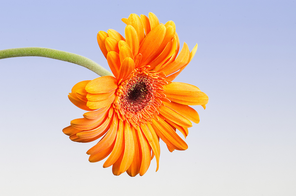 Orange FLower with blue graduated background
