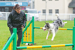 © Licensed to London News Pictures. 16/08/2019. Llanelwedd, Powys, UK. Agility events take place despite the wet and windy weather on the first day of The Welsh Kennel Club Dog Show, held at the Royal Welsh Showground, Llanelwedd in Powys, Wales, UK. Photo credit: Graham M. Lawrence/LNP