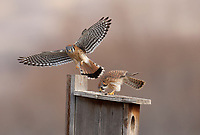 Late February and this pair of American Kestrels have decided on this nesting box at Farmington Bay Bird Refuge in northern Utah to nest this wetland preserve is nestled between Salt Lake City and Kaysville.<br /> Mountains to the east and the Great Salt Lake to the west and some farming in between give the Kestrels a good opportunity for food without having to compete with a growing population of people at least for now.