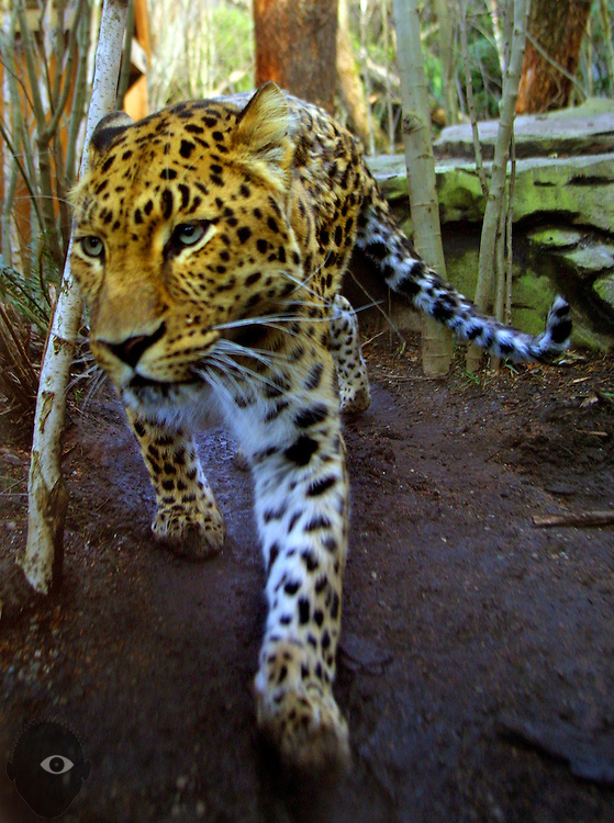 A leopard stalks about his territory within the Oregon Zoo.