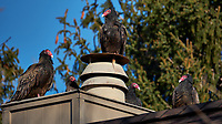 Five Turkey Vultures Warming on a Neighbor's Roof. Winter Backyard Nature in New Jersey. Image taken with a Fuji X-T2 camera and 100-400 mm OIS lens (ISO 200, 400 mm, f/5.6, 1/950 sec).