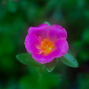 Close up of a mauve Portulaca flower