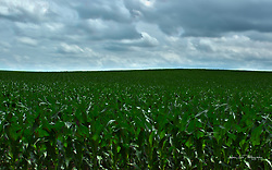 Midwestern scenic of crops growing in the fields creating a panoramic horizon.