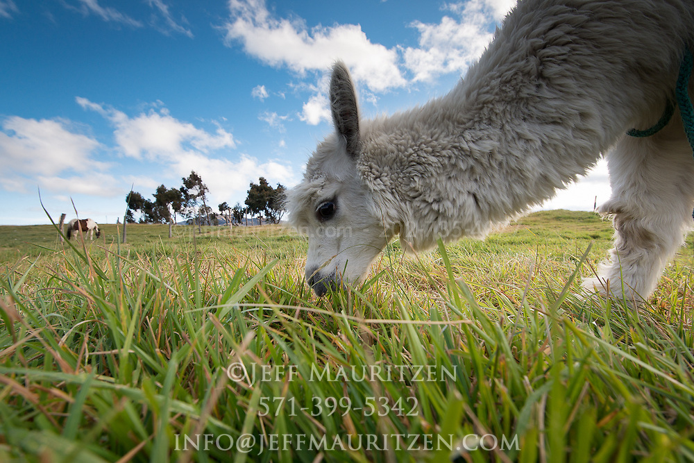 Alpacas graze high up in the Andes mountains of Ecuador.