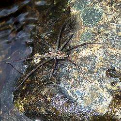 """""""Aranha (Aracnídeo) fotografado no Caparaó, Espírito Santo -  Sudeste do Brasil. Bioma Mata Atlântica. Registro feito em 2018.<br /> ⠀<br /> ENGLISH: Spider photographed in Caparaó, Espírito Santo - Southeast of Brazil. Atlantic Forest Biome. Picture made in 2018."""""""