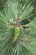 Maritime Pine Pinus pinaster (Pinaceae) HEIGHT to 32m <br /> Has a sturdy, slightly tapering bole, often curved in exposed coastal areas, the crown fairly open, reflecting curve of bole. BARK Yellowish-brown, breaking into rectangular flakes. LEAVES Needles, the longest and thickest of any 2-needle pine. REPRODUCTIVE PARTS Male flowers yellow and ovoid, in clusters near shoot tips. Female cones ovoid, red at first, in small clusters, ripening conical and woody with a greenish-brown gloss. STATUS AND DISTRIBUTION Native of SW Atlantic coasts of Europe and Mediterranean. Grows well on poor sandy soils, often on heaths and near coasts.