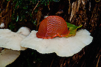 Wonderful contrast of an orange slug sitting on white bracket fungus.
