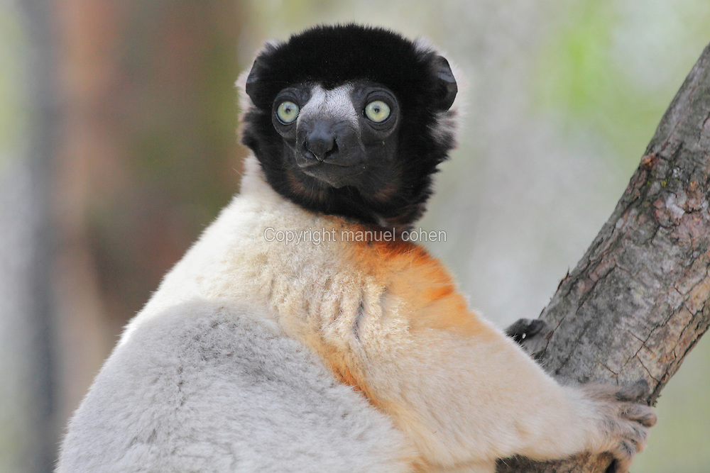 Crowned sifaka (Propithecus coronatus), an endangered species of the lemur family from Madagascar, in the Propithecus enclosure in the Zone Madagascar of the new Parc Zoologique de Paris or Zoo de Vincennes, (Zoological Gardens of Paris or Vincennes Zoo), which reopened April 2014, part of the Musee National d'Histoire Naturelle (National Museum of Natural History), 12th arrondissement, Paris, France. Picture by Manuel Cohen