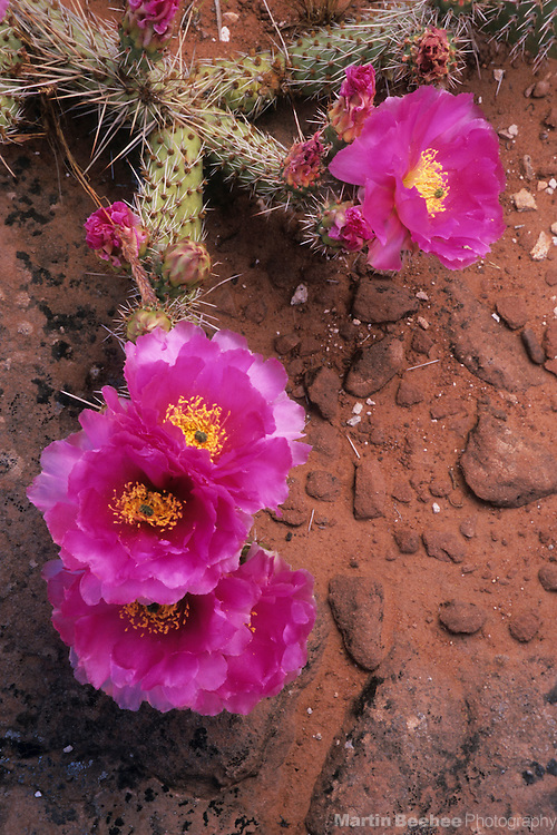Prickly pear cactus (Opuntia erinacea), Grand Staircase-Escalante National Monument, Utah