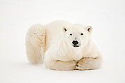 Polar Bear (Ursa maritimus) on sub-arctic Hudson Bay ice<br /> Churchill<br /> Manitoba<br /> Canada