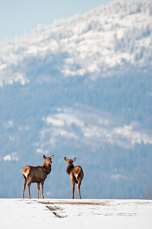 JEROME A. POLLOS/Press...Two juvenile elk wander in a field Wednesday near the Prairie Falls Golf Club in Post Falls. A small herd of elk claimed a section of the eighth fairway at the golf course for most of the afternoon to sun bathe, according to a homeowner.