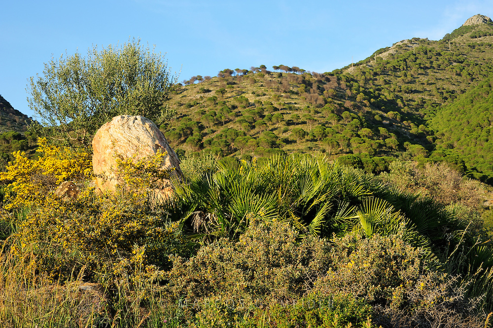 EN. Typical Maquis shrubland formed by Dwarf Fan Palm (Chamaerops humilis) and gorse (Ulex parviflorus) with an Aleppo pine forest (Pinus halepensis) in the background. Sierra de Mijas, Malaga, Andalucia, Spain.<br /> ES. T&iacute;pico entorno de Maquis compuesto por Palmito (Chamaerops humilis) y aulaga morisca (Ulex parviflorus) con bosque de pino carrasco (Pinus halepensis) en el fondo. Sierra de Mijas, M&aacute;laga, Andaluc&iacute;a, Espa&ntilde;a.