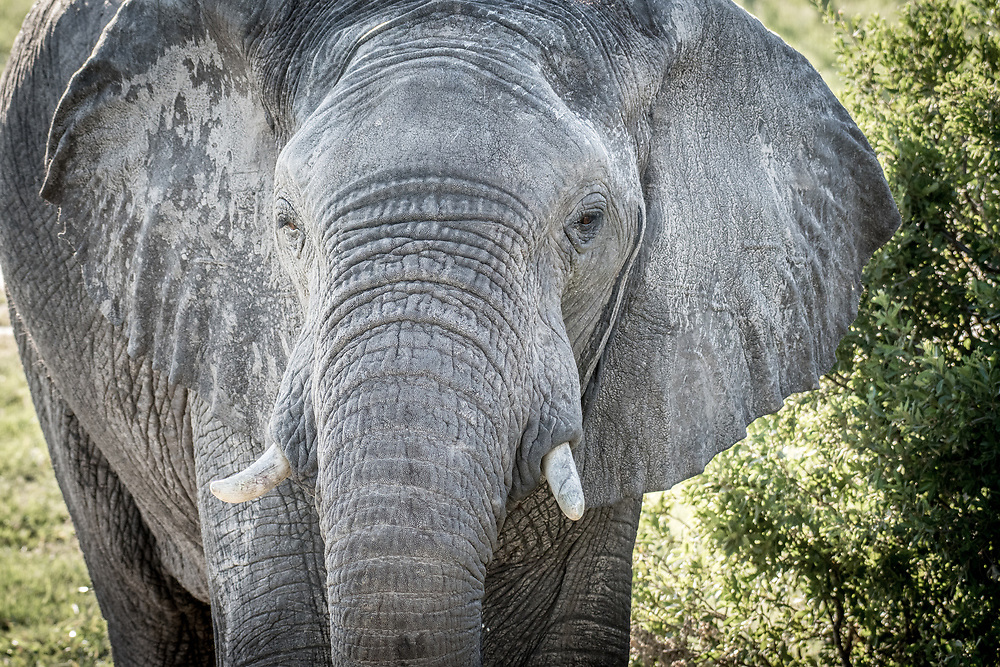 A close up of an elephant in the wetlands of Hwange National Park. Hwange, Zimbabwe.