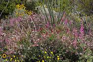 Wildflower gardens at the Arizona Sonora Desert Museum in Tucson, Arizona, USA
