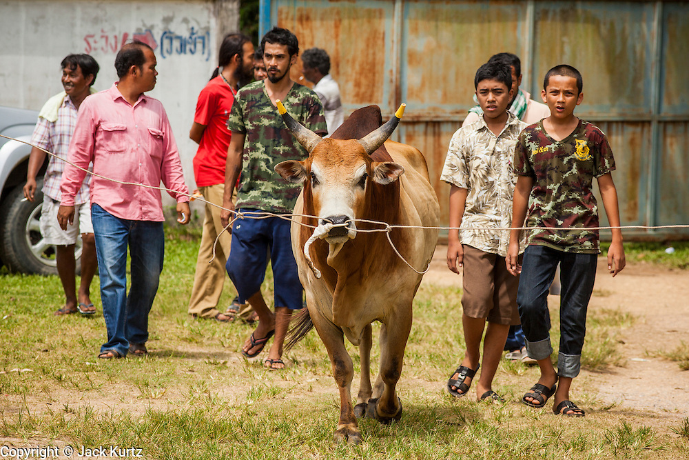 03 NOVEMBER 2012 - HAT YAI, SONGKHLA, THAILAND:   Members of a team walk a fighting bull to the arena at the bullfighting arena in Hat Yai, Songkhla, Thailand. Bullfighting is a popular past time in southern Thailand. Hat Yai is the center of Thailand's bullfighting culture. In Thai bullfights, two bulls are placed in an arena and they fight, usually by head butting each other until one runs away or time is called. Huge amounts of mony are wagered on Thai bullfights - sometimes as much as 2,000,000 Thai Baht ($65,000 US).     PHOTO BY JACK KURTZ