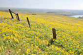 20160416 Wildflowers at Dalles Mountain Ranch/Columbia Hills