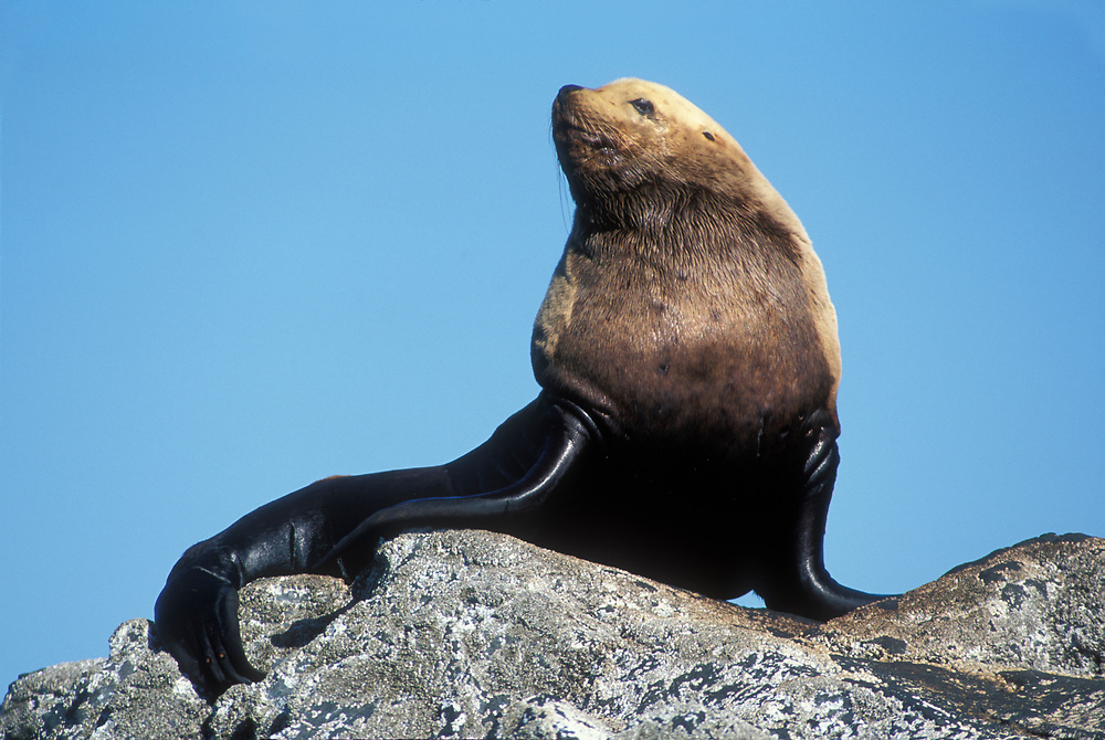 USA, Alaska, Steller Sea Lion bull rests on rocks at (Eumetopias jubatus) haulout on The Brothers Islands in Frederick Sound