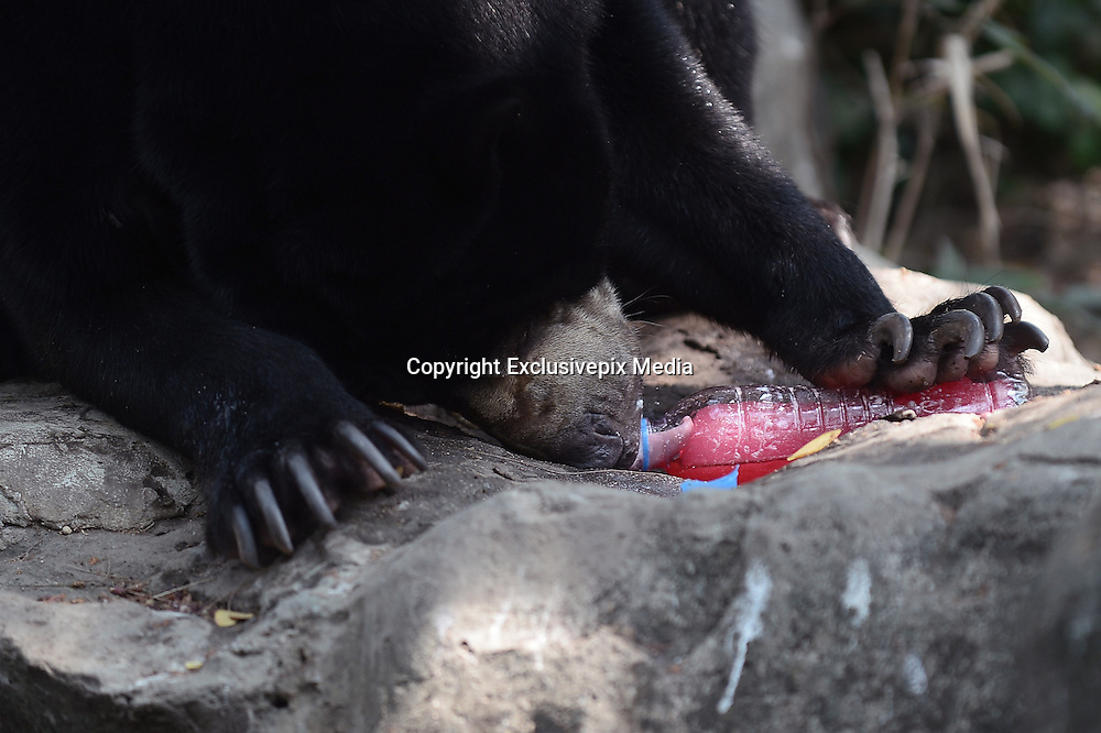 March 17, 2016 - Bangkok, thailand - <br /> <br /> A Malayan Sun Bear enjoys a bottle of frozen juice on a hot summer day at Dusit Zoo, know as Khao Din in Bangkok, Thailand on March 17, 2016.<br /> ©Exclusivepix Media