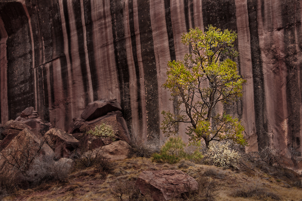 Lone tree against a rock wall in Grand Wash, Capitol Reef National Park.