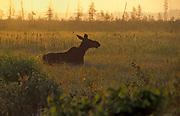 Moose (Alces alces) <br />Riding Mountain National Park<br />Manitoba<br />Canada