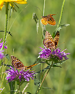 Fritillary butterfly flys above horsemint blossoms where others are feeding on nectar, mountain meadow, Jemez Mountains, NM, © 2010 David A. Ponton