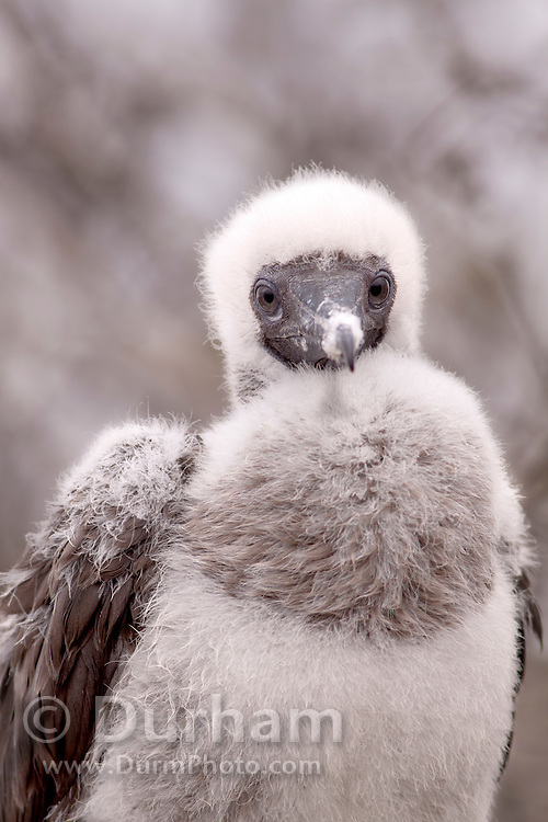 A red-footed booby (Sula sula) chick on Genovesa Island, Galapagos Archipelago - Ecuador.