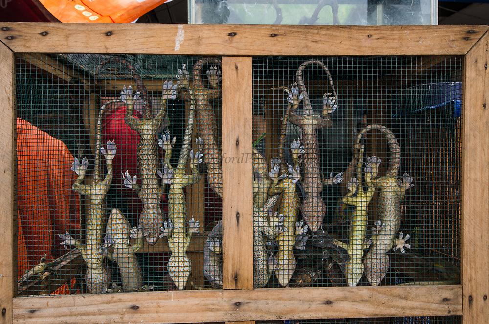 Tokay Gecko (Gekko gecko)<br /> Wild caught for sale in market<br /> Jatinegara Animal market<br /> Jakarta<br /> Indonesia