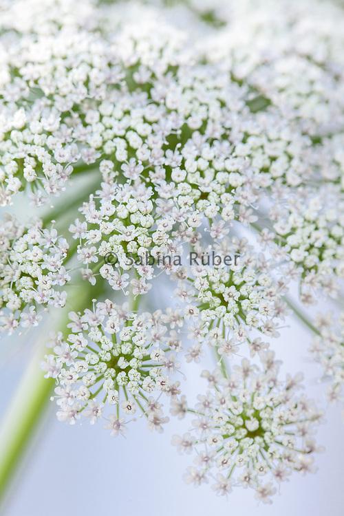 Ammi visnaga 'Green Mist' - false Queen Anne's Lace