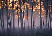 Pine forest at sunrise - Mississippi.