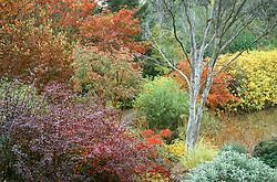 Autumn colours of Cornus kousa, sorbus and berberis with the silver bark of Eucalyptus niphophila at The Dingle, Weshpool