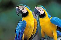 Parrot (Ara) -French Guyane - France