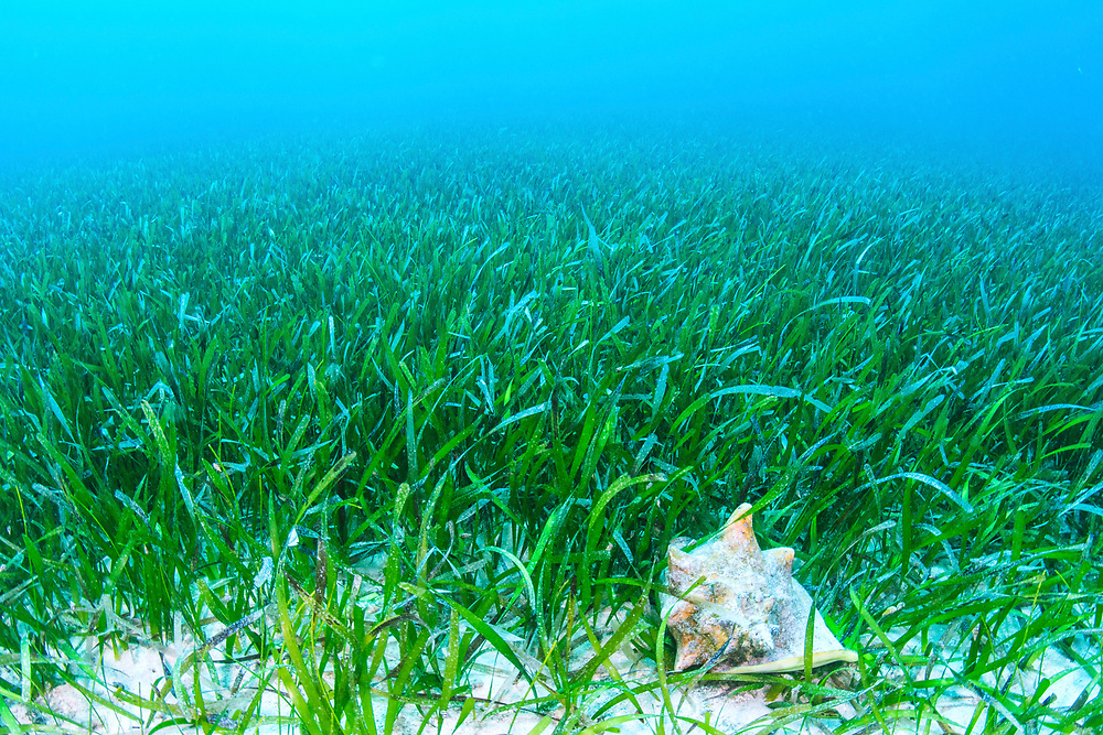 A major part of the queen conch's diet comes from eating algae off seagrass blades. Queen conch are the official food of The Bahamas and important culturally, economically and ecologically throughout their range.