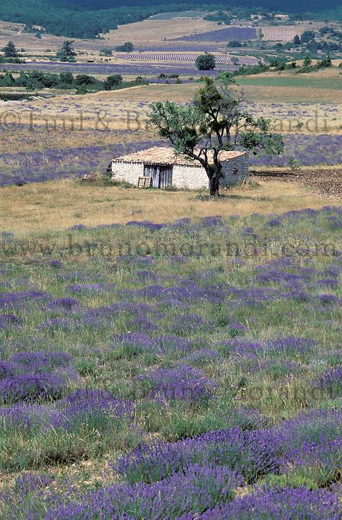 France - Provence - Vaucluse - Sault -  Champs de Lavande