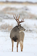 Trophy Mule Deer Buck in Winter Habitat