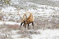 Elk at the trailhead to Wraith Falls<br /> <br /> &copy;2015, Sean Phillips<br /> http://www.RiverwoodPhotography.com