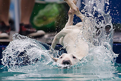 61539532<br /> A dog jumps into the water during a dog diving competition in Budapest, Hungary on May 18, 2014. Dog diving is free time sport testing the skill of the dogs. The owner throws a toy into the pool and the dog jumps into the water to retrieve it. Some dogs enjoy it, while some simply skip the task. Rules of the competition strictly forbid for the owners to toss the dogs into the water. It is a game the dog must enjoy and want to cooperate, Hungary, Sunday, 18th May 2014. Picture by  imago / i-Images<br /> UK ONLY