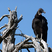 The Black Vulture (Coragyps atratus) is a scavenger and feeds on carrion.
