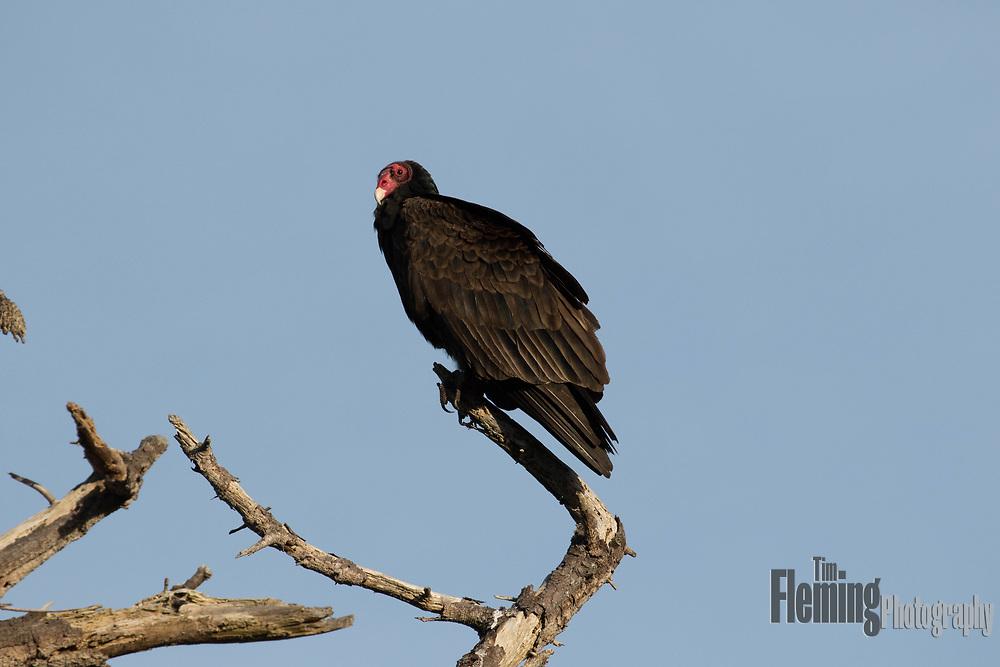 Turkey vulture  perched in a tree in Big Sur, California