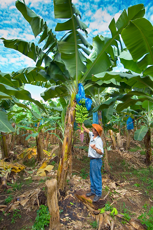 Banana Farmer Inspects A Bunch Of Bananas On His Banana Plantation In Costa Rica.