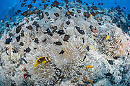 Clown fish (Amphiprion bicinctus) and sea anemone (Actiniaria), Red Sea, Sudan.