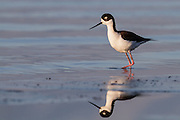 A black-necked stilt hunts for food along the banks of the Salton Sea, California.